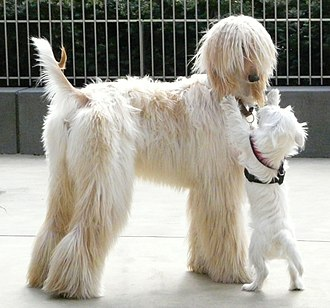 Afghan Hound - The coat may be any colour. Light cream coated Afghan Hound