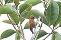 Smoky-brown Woodpecker (Picoides fumigatus) (7222967638).jpg