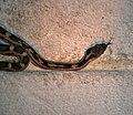 Snake (254579472).jpg