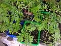 Solanales - Solanum lycopersicum - 6.jpg