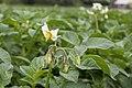 Solanum tuberosum 03.jpg