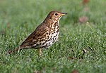 Song thrush by Phil McIver - small.jpg