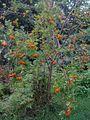 Sorbus aucuparia - Sorbier des oiseaux - rowan (4861956313).jpg