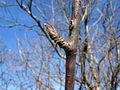 Sorbus aucuparia lateral bud.jpg