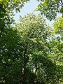 Sorbus torminalis sl21.jpg