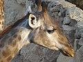 South African Giraffe 24.jpg