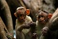 South India Monkeys (98369788).jpg