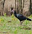 Southern Bald Ibis (Geronticus calvus) (32537024665).jpg