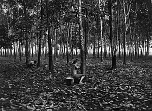 Rubber plantation in Singapore, 1914
