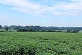 Soybean Field, Vreeland Road, Superior Township, Michigan - panoramio.jpg