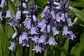 Spanish Bluebell.jpg