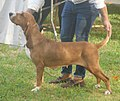 Spanish Hound female.jpg