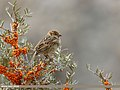 Spanish Sparrow (Passer hispaniolensis) (31098819426).jpg