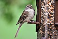 Sparrow at Feeder (4858889226).jpg