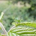 Speckled bush-cricket nymph (Leptophyes punctatissima), Sandy, Bedfordshire (9191755065).jpg