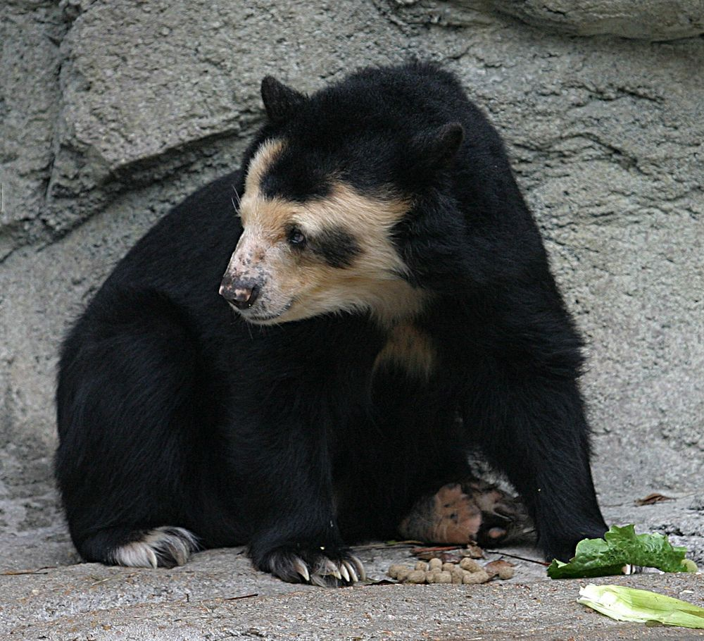 The average litter size of a Spectacled bear is 1