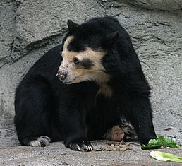 Spectacled Bear - Houston Zoo.jpg