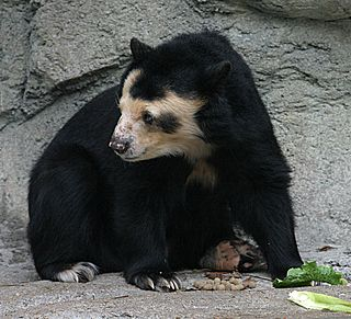Spectacled bear Species of mammal