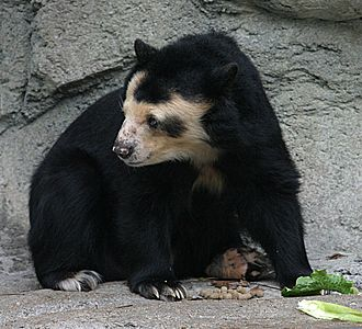 Spectacled bear - At the Houston Zoo