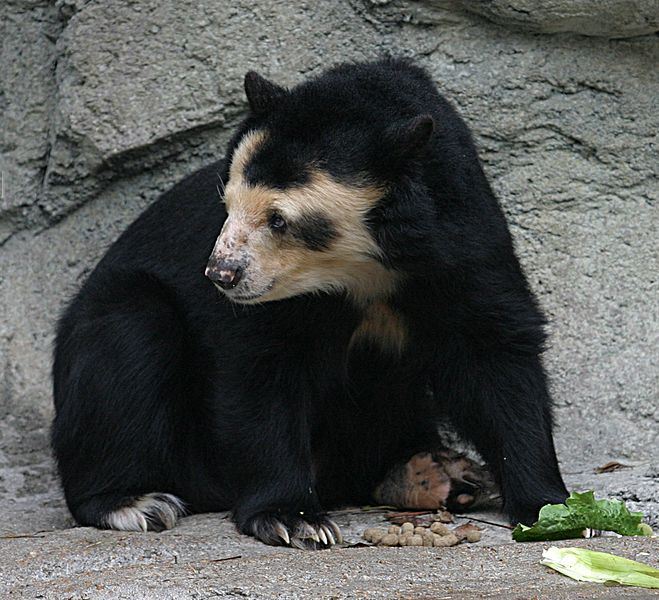 فایل:Spectacled Bear - Houston Zoo.jpg