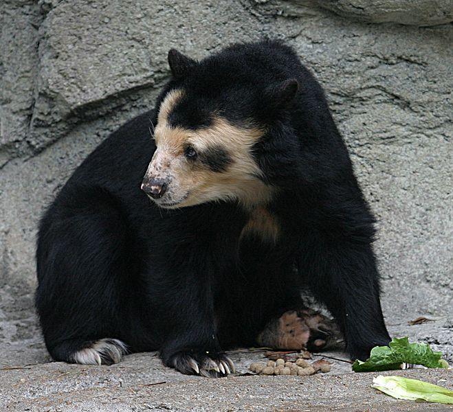 File:Spectacled Bear - Houston Zoo.jpg