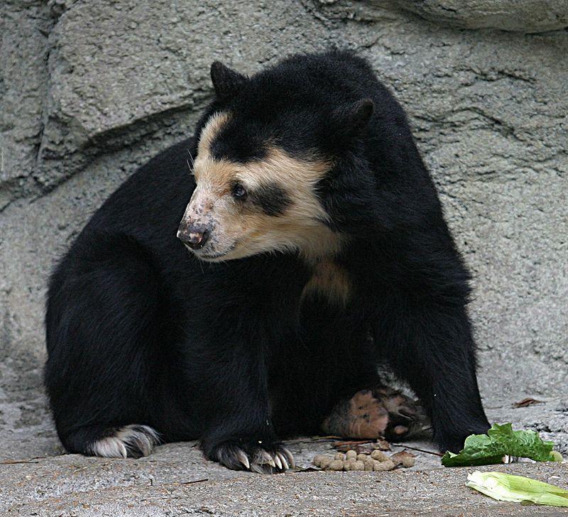 Spectacled Bear - Houston Zoo.jpg
