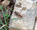Spex sp.. (rufocinctus^) - Flickr - gailhampshire.jpg