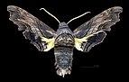 Sphecodina abbottii MHNT CUT 2010 0 154 West Feliciana Parish Louisiana Male dorsal.jpg