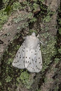 Spilosoma lubricipeda, Lodz(Poland)02(js).jpg