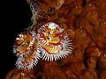 Spirobranchus giganteus (Christmas tree worm) red and white.jpg