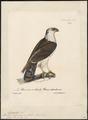 Spizaëtus melanoleucus - 1825-1834 - Print - Iconographia Zoologica - Special Collections University of Amsterdam - UBA01 IZ18100223.tif