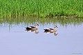 Spot-billed Duck പുള്ളിച്ചുണ്ടന് താറാവ് (8709855996).jpg