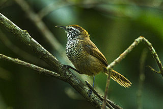 Spot-breasted wren Species of bird found in Mexico and Central America