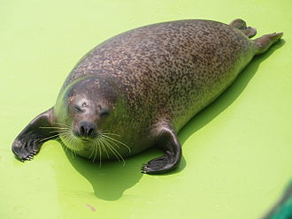 Spotted seal - Image: Spotted Seal 2