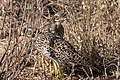 Spotted Thick-knee (28094076162).jpg