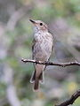 Spotted flycatcher, Muscicapa striata, at Marakele National Park, Limpopo, South Africa (16133455347).jpg