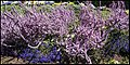 Spring Bluff Railway Station Mauve Coral-2 (37134405951).jpg