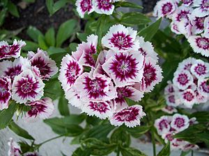 Dianthus - Sweet William Dwarf, Dianthus barbatus