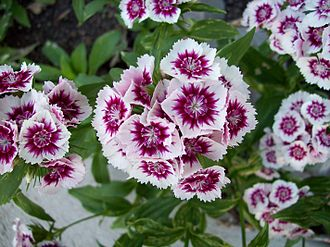 Biennial plant - The Sweet William Dwarf plant is a biennial plant.