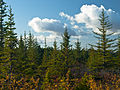 Spruces in Autumn (3983929587).jpg