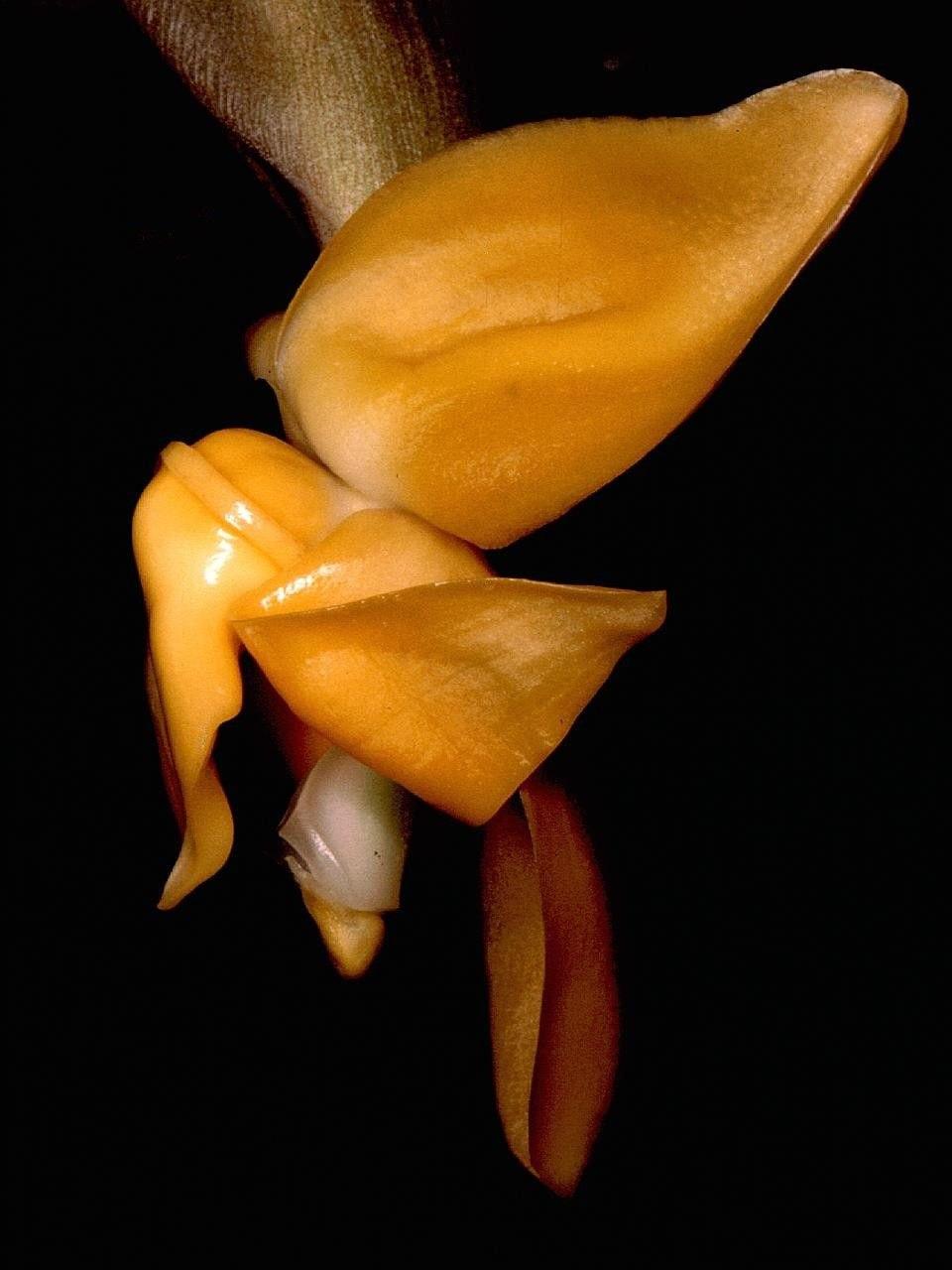 Stanhopea annulata Orchi 001