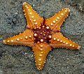 Starfish 02 (paulshaffner) cropped.jpg