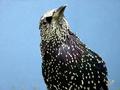 Starling PLoS.png