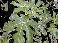 Starr-010330-0592-Ficus carica-leaves-Kahului-Maui (24532102765).jpg