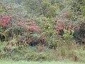 Starr-011205-0098-Pyracantha crenatoserrata-habit-Havo-Hawaii (24248377570).jpg