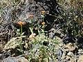 Starr-030424-0015-Zinnia peruviana-habit-Puu o Kali-Maui (24003049214).jpg