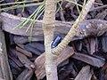 Starr-030923-0218-Tamarix aphylla-with Bostrichid beetle-LZ1-Kahoolawe (24531885132).jpg