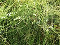 Starr-070321-5936-Cassytha filiformis-habit-Waianapanapa State Park Hana-Maui (24589937490).jpg