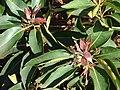 Starr-070404-6509-Lophostemon confertus-leaves-Koele-Lanai (24768854282).jpg