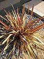 Starr-090426-6318-Phormium tenax-habit-Kulamalu Town Center Kula-Maui (24325641403).jpg